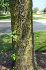 Swingle Lawn, Tree and Landscape Care- Emerald ash borer- ash tree form sprouts from trunk and roots