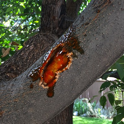 Squirrels Damaging Tree Bark with Hot Sauce